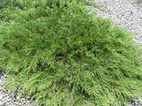 Microbiota decussata (Russian Cypress) Evergreen, #3 - Size Container