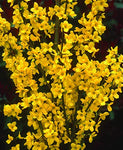 Proven Winners - Forsythia x Show Off (Forsythia) Shrub, yellow flowers, #3 - Size Container