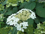American Beauties Native Plants - Hydrangea arb. 'Haas' Halo' (Smooth Hydrangea) Shrub, white lacecap flowers, #3 - Size Container
