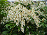 Pieris jap. 'Mountain Fire' (Mountain Fire Andromeda) Evergreen, #2 - Size Container