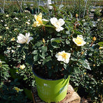 Knock Out Roses - Rosa Sunny Knock Out (Rose) Rose, yellow flowers, #2 - Size Container