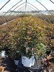 Proven Winners - Physocarpus op. Coppertina (Ninebark) Shrub, copper foliage, #3 - Size Container