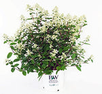 Proven Winners - Hydrangea pan. Quick Fire (Panicle Hydrangea) Shrub, white to pink flowers, #3 - Size Container