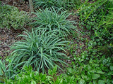 American Beauties Native Plants - Carex laxiculmus Bunny Blue (Sedge) Grass, blueish green foliage, #1 - Size Container