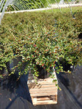 Cotoneaster apiculatus (Cranberry Cotoneaster) Shrub, #2 - Size Container