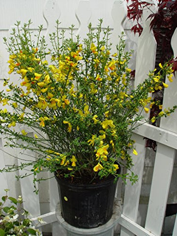 Cytisus 'Madame Butterfly' (Scotch Broom) Shrub, #3 - Size Container