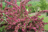Proven Winners - Weigela Flordia Sonic Bloom Pink (Reblooming Weigela) Shrub, Pink Flowers, #3 - Size Container