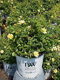 Proven Winners - Rosa OSO EASY Lemon Zest (Rose) Rose, yellow flowers, #2 - Size Container