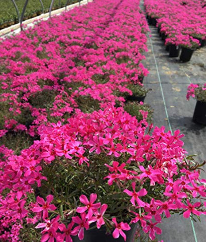 Phlox subulata 'Scarlet Flame' (Moss Phlox) Perennial, bright pink flowers, 1 - Size Container