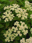 American Beauties Native Plants - Viburnum dentatum 'Blue Blaze' (Arrowwood) Shrub, white flowers with blue fruit, #3 - Size Container