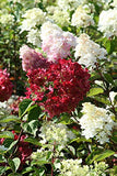 First Editions - Hydrangea pan. Diamond Rouge (Panicle Hydrangea) Shrub, white to red flowers, #3 - Size Container