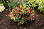 Weigela x Date Night Maroon Swoon (Weigela) Shrub, deep red flowers, #3 - Size Container