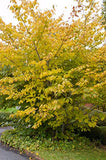American Beauties Native Plants - Hamamelis virginiana (Common Witchhazel) Shrub, , #3 - Size Container