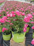 Knock Out Roses - Rosa Pink Double Knock Out (Rose) Rose, double pink flowers, #2 - Size Container