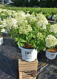 Proven Winners - Hydrangea pan. Bobo (Panicle Hydrangea) Shrub, dwarf form with white flowers, #2 - Size Container