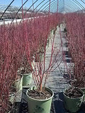 American Beauties Native Plants - Cornus ser. 'Cardinal' (Red Twig Dogwood) Shrub, white flowers, #3 - Size Container