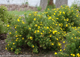 Potentilla frut. 'Dakota Sunspot' (Cinquefoil) Shrub, bright yellow flowers, #3 - Size Container