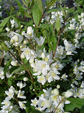 Deutzia gracilis 'Nikko' (Nikko Deutzia) Shrub, white flowers, #2 - Size Container