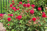 Easy Elegance Roses - Rosa Kashmir (Rose) Rose, dark red flowers, #2 - Size Container