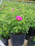Rosa rugosa (Rugosa Rose) Rose, pink flowers, #3 - Size Container