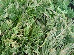 Juniperus hor. 'Wiltonii' (Creeping Juniper) Evergreen, #3 - Size Container