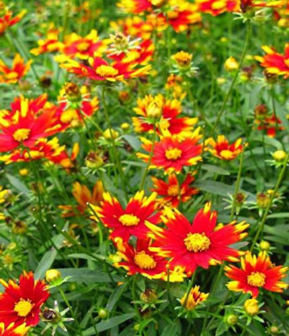 Coreopsis BIG BANG 'Sun Splash'  (Tickseed) Perennial, red/yellow, #1 - Size Container