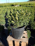 Buxus micro. jap. 'Green Gem' (Boxwood) Evergreen, #2 - Size Container
