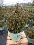 American Beauties Native Plants - Chamaecyparis thyoides 'Top Point' (Dwarf White Cedar) Evergreen, , #2 - Size Container
