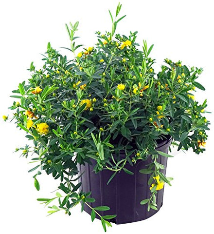 Hypericum frondosum 'Sunburst' (St. Johns Wort) Shrub, yellow flowers, #3 - Size Container
