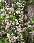 Proven Winners - Weigela florida Sonic Bloom Pearl (Reblooming Weigela) Shrub, white flowers, #3 - Size Container
