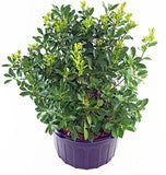 Ilex verticillata 'Red Sprite' (Winterberry) Shrub, XL red fruit, #2 - Size Container