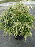 Pieris jap. 'Compacta' (Compact Japanese Andromeda) Evergreen, #2 - Size Container