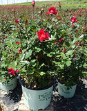 Plants That Work - Rosa 'Miracle On The Hudson' (Rose) Rose, red flowers, #3 - Size Container