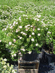 Potentilla frut. 'Pink Beauty' (Cinquefoil) Shrub, pink flowers, #3 - Size Container