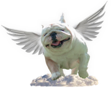 Rescue Angel Pledge Program - Chicago English Bulldog Rescue - eBully Boutique