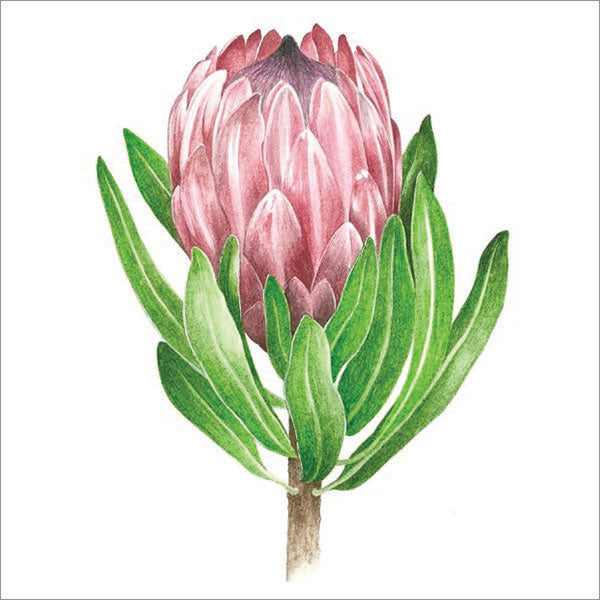 Queen protea - Watercolour painting