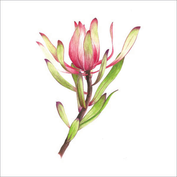 SS Leucadendron - Watercolour painting