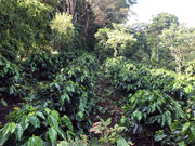 Rows of Coffee Trees on Finca Santa Lucia