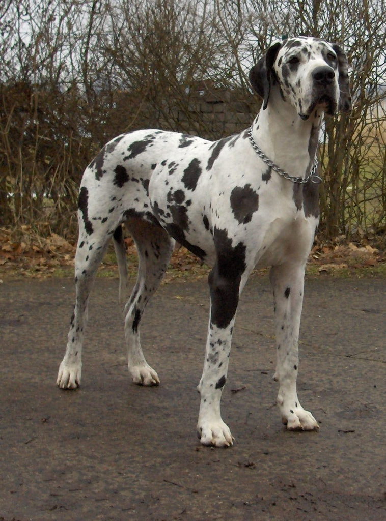 Man's Best Friend: Great Danes and Poodles