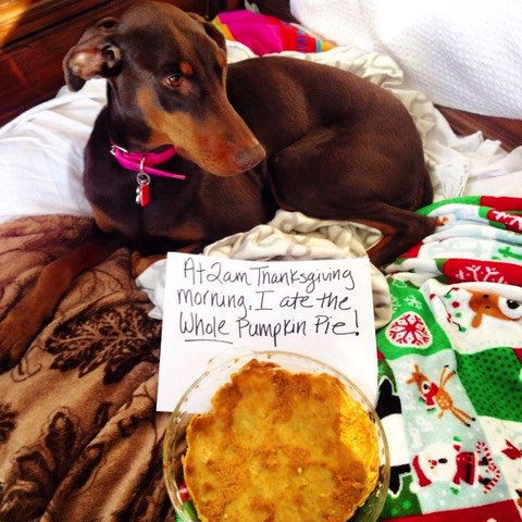 Dog shaming for eating a pumpkin pie.