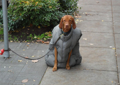 dog in down coat