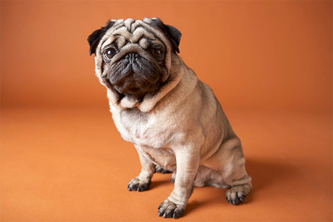 Pug full picture