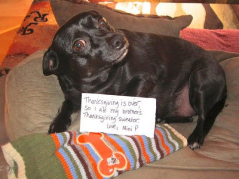 Chihuahua shamed for eating his brother Thanksgiving sweater.