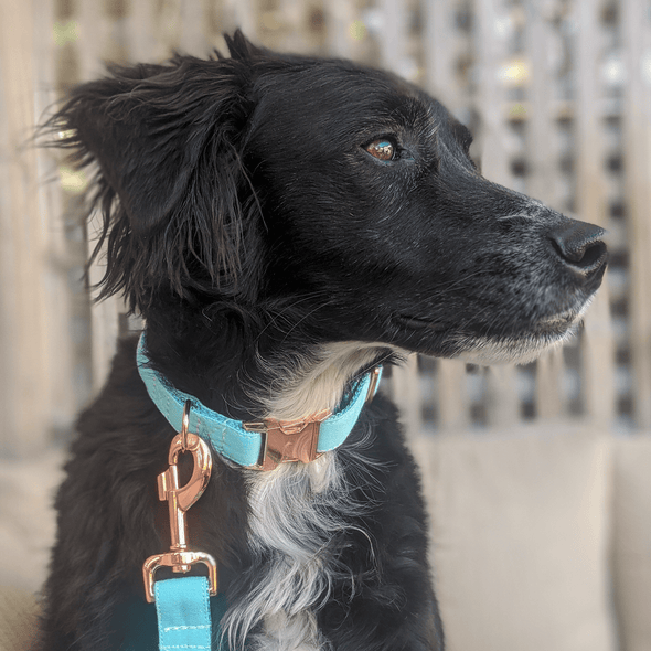 Aqua Getaway Dog Collar Rose Gold Collection