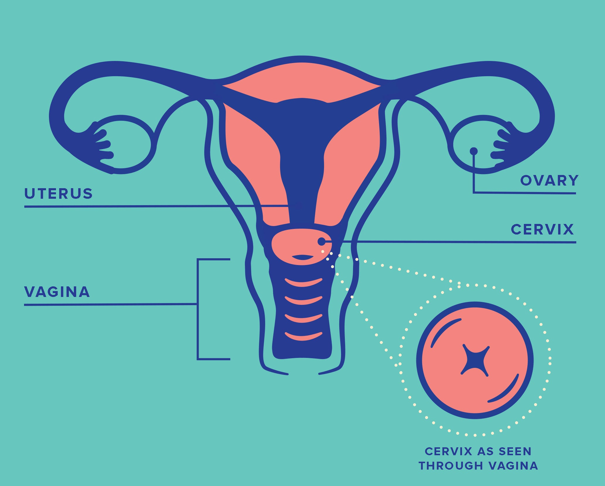 Diagram of Female Reproductive Anatomy