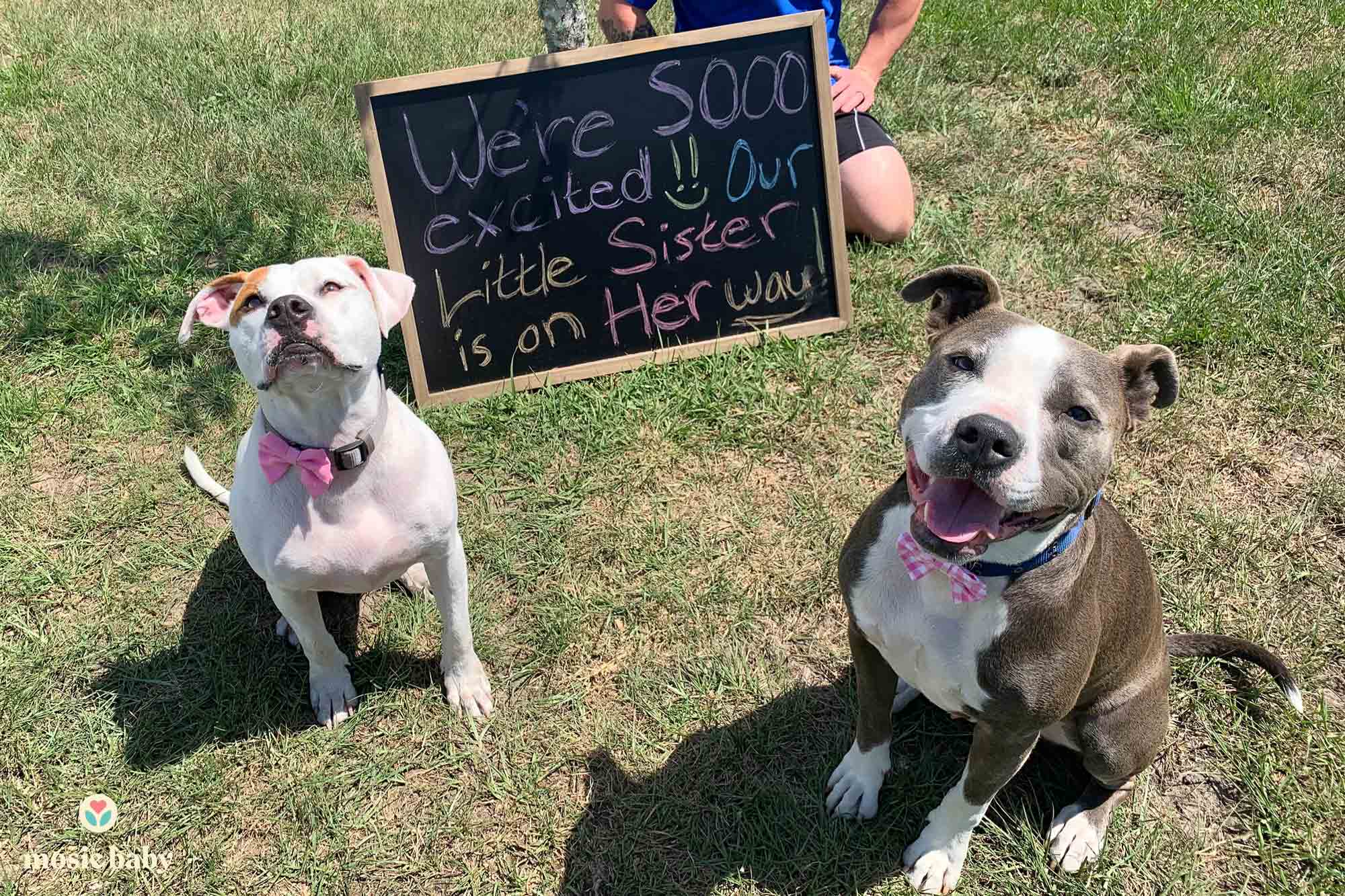 mosie baby pregnancy announcement with two dogs