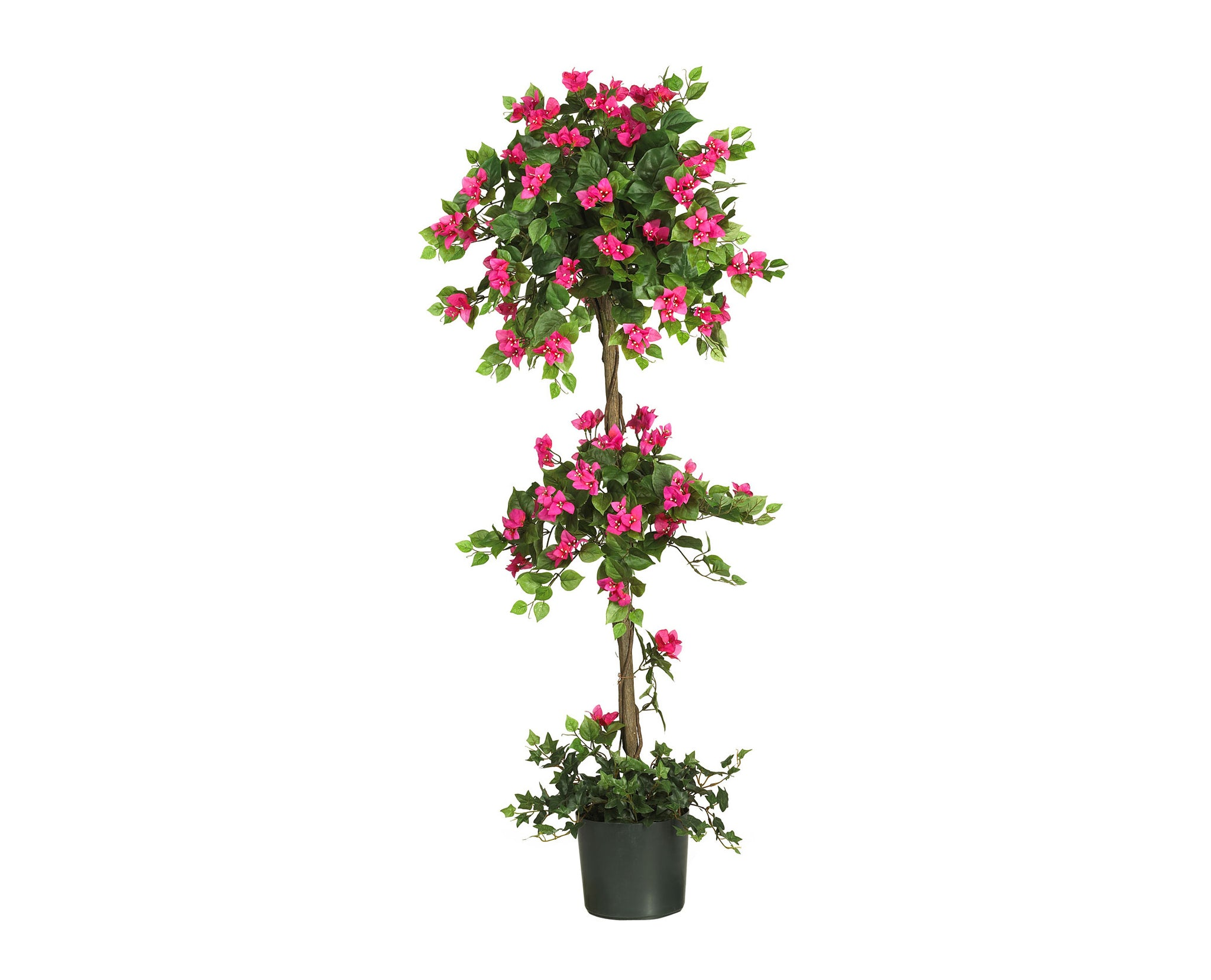 Bougainvillea 5ft Trees