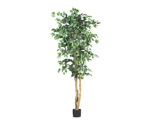 Ficus 6ft Trees