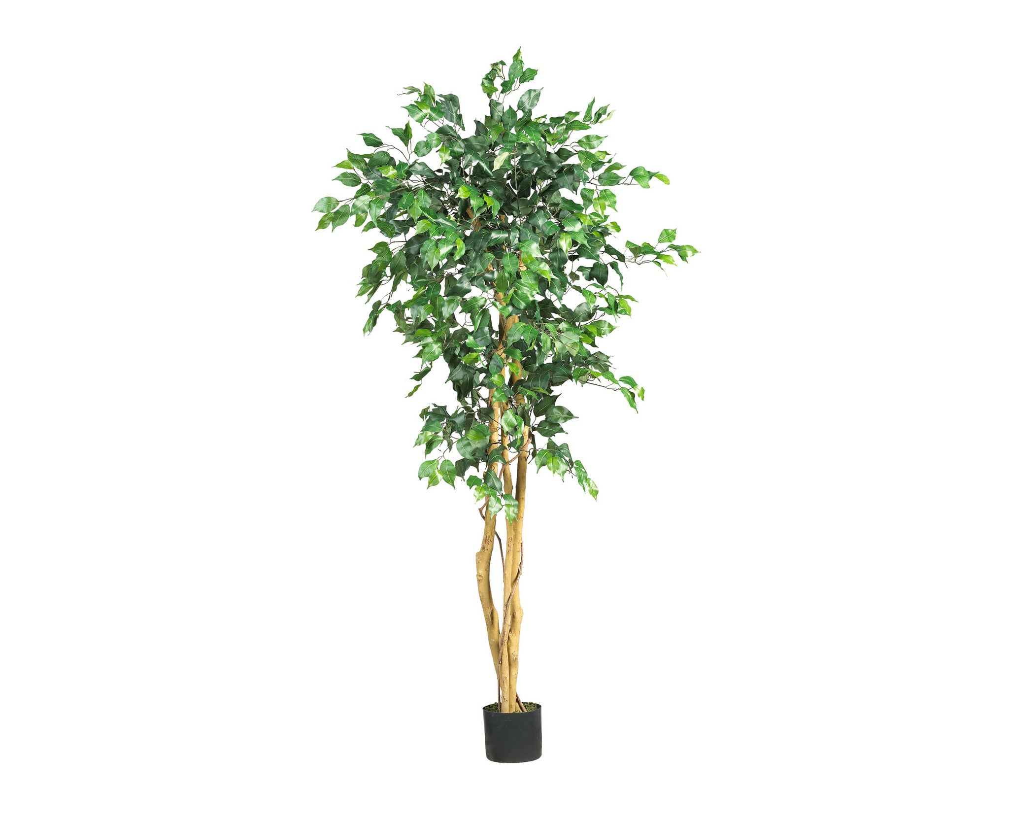 Ficus 5ft Trees