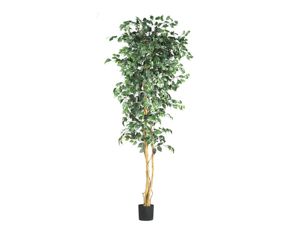 Ficus 7ft Trees